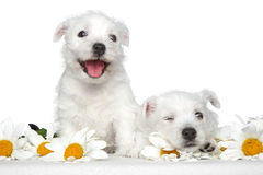 Happy dog puppies in daisies Royalty Free Stock Photography