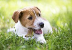 Happy dog puppy chewing bone. Happy healthy Jack Russell Terrier dog puppy chewing bone for cleaning teeth stock images