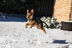 Excited Dog Puppy Jumping and Playing in the Snow. Happy dog puppy running playing jumping in the snow on a sunny day royalty free stock photos