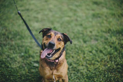 A happy dog Royalty Free Stock Images