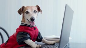 Happy dog in red jumper looking to the camera using computer.