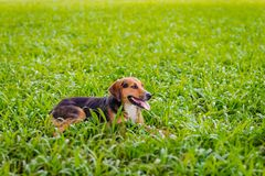 Happy dog relaxing outdoors on the lawn enjoying nature relaxing joyfully Royalty Free Stock Images