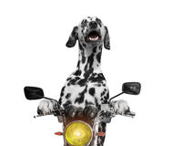Happy dog rides on a motorcycle. Isolated on white royalty free stock photo