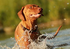 Happy dog in river. Rhodesian ridgeback enjoys the river Royalty Free Stock Photos