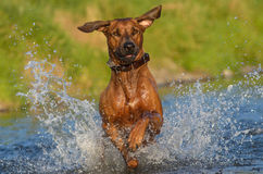 Happy dog in river. Rhodesian ridgeback enjoys the river Royalty Free Stock Image
