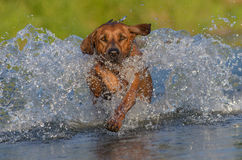 Happy dog in river. Rhodesian ridgeback enjoys the river Stock Photo