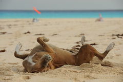 Happy dog rolling around in sand on beach Stock Photos