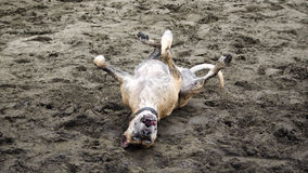 Happy Dog Rolling on Beach Stock Images