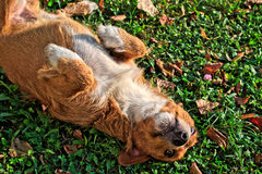 Happy Dog Rolling in Grass Stock Photography