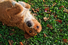 Happy Dog Rolling in Grass Royalty Free Stock Photography