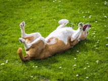 Happy dog rolls and turns on the green grass Stock Photos