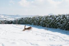 Happy dog run in the snow. A happy dog run and play in the snow in a garden in Campobasso, Molise, Italy during a sunny winter day royalty free stock images