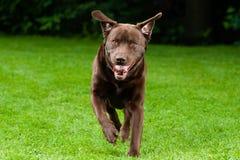Happy Dog Run Stock Image