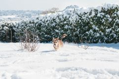 Happy dog run in the snow. A happy dog run and play in the snow in a garden in Campobasso, Molise, Italy during a sunny winter day stock images