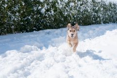 Happy dog run in the snow. A happy dog run and play in the snow in a garden in Campobasso, Molise, Italy during a sunny winter day stock image