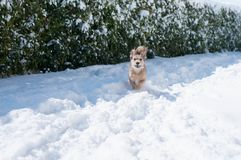 Happy dog run in the snow. A happy dog run and play in the snow in a sunny winter day royalty free stock image