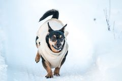 Happy dog run in winter royalty free stock images