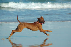 Happy dog running. A beautiful active African male Rhodesian Ridgeback hound dog with happy expression in the face playing wild by jumping and running fast in Stock Images