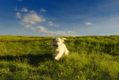 Happy dog running. Dog running in the meadow with happiness Stock Photo