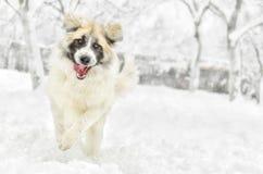 Happy dog running Royalty Free Stock Photos