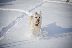 Happy dog running. In the snow Royalty Free Stock Images