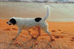 Happy dog running along sea coast Royalty Free Stock Photos