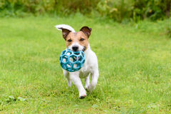 Happy dog running with ball. Jack Russell Terrier on green grass Stock Photography