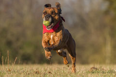 Happy Dog Running With Ball in an open space stock image