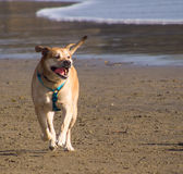 Happy Dog. Dog is running at the beach Stock Photos