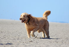 Happy Dog Running on the Beach Stock Images