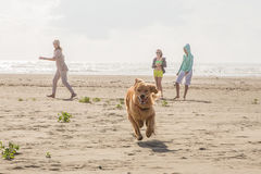 Happy dog running on the beach Royalty Free Stock Image