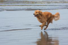 Happy dog running on the beach Royalty Free Stock Photo