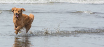 Happy dog running on the beach Stock Photography