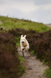Happy dog running. A blond Labradoodle dog running fast and with flapping ears down a sandy path in the moors. Short DOF, low point of view Stock Photos