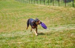 Dog carrying frisbee on field stock photography