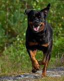 Happy Dog running Royalty Free Stock Photography