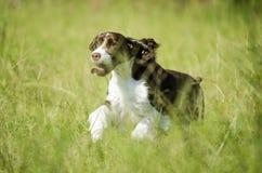Happy Dog Running Stock Photography
