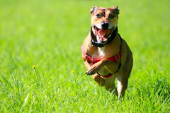 Happy dog running through green grass. Royalty Free Stock Photos