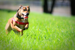 Happy dog running through green grass. Stock Photography