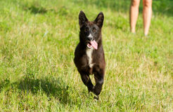 Happy dog running Royalty Free Stock Photos