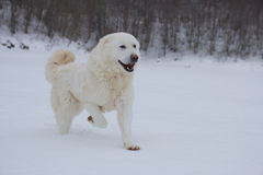 Happy dog running outdoors Royalty Free Stock Images
