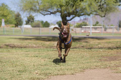 Happy Dog Running in the Park Royalty Free Stock Image
