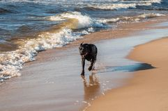 Dog is running on the sea. Happy dog is running on the sea stock images