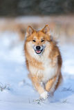 Happy dog running in the snow Stock Image