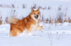 Happy dog running in the snow Royalty Free Stock Photography