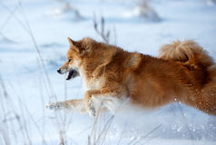 Happy dog running in the snow Stock Images
