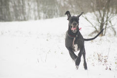 Happy dog running on snow Royalty Free Stock Photos