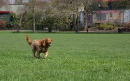 Happy dog running with a tennis ball royalty free stock images