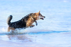 Happy Dog running in the water Royalty Free Stock Photos