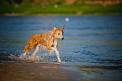 Happy dog running in the water Stock Photos